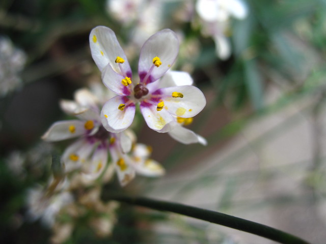 Wurmbea stricta in bloom in the Warm Temperate Pavilion. Photo by Sarah Schmidt.
