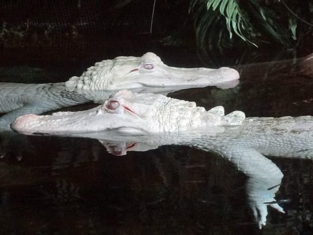 albino-alligators