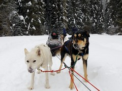 dog, winter, vehicle, snow, mammal, mushing, greenland dog, dog sled, sled dog racing,