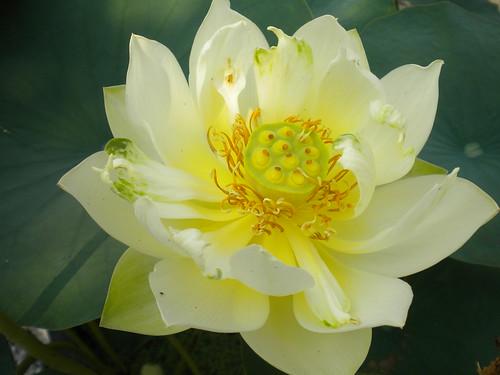 Nelumbo 'Xian Shan Lian'