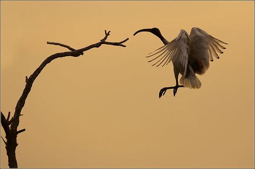 Ibis Landing 2
