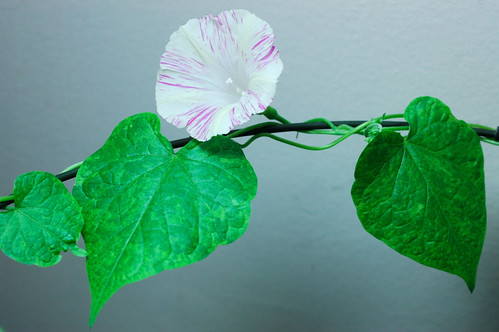 Q1152 Ipomoea purpurea by Gerris2