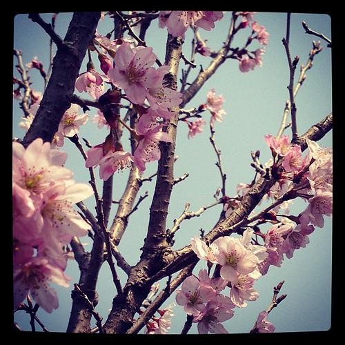 緋寒桜?彼岸桜?