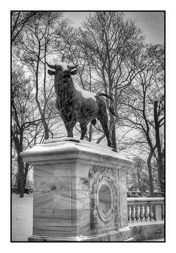 colt park bull BW by jambori39 via I {heart} Rhody