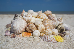 animal(1.0), sea snail(1.0), sand(1.0), invertebrate(1.0), seashell(1.0), cockle(1.0), conch(1.0),