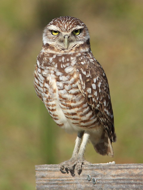 Burrowing Owl 20130311