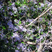 Small photo of Ceanothus oliganthus
