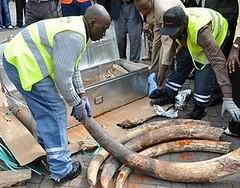 肯亞官員檢查被查獲的非法象牙貨運。(照片提供:肯亞野生動物管理署)