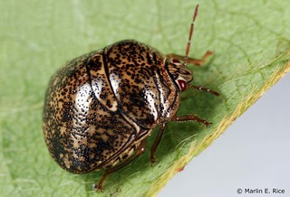 Picture of a kudzu bug