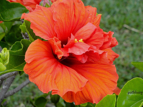 Double deep orange hibiscus