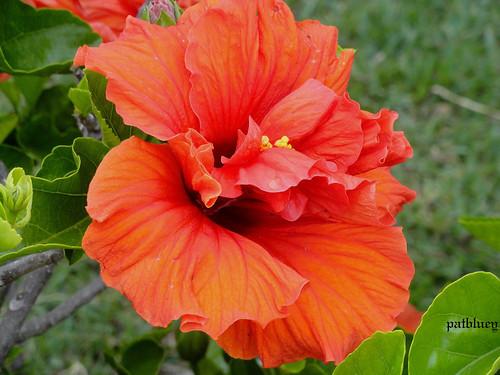 Double deep orange hibiscus