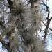 Árbol con aerofitos - tree with aerophytes; entre San Juan Tabaá y Villa Alta, Región Sierra Juárez, Oaxaca, Mexico por Lon&Queta