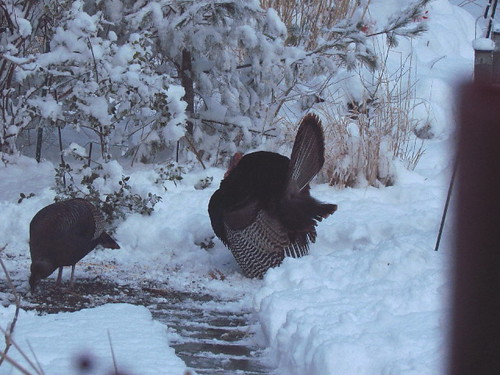 Wild Turkey display in snow 3:22:13