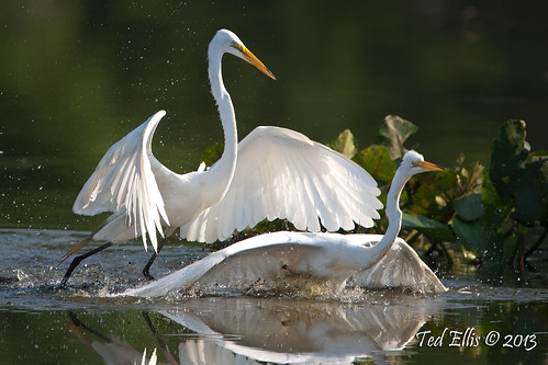 The Dominant Great Egret.