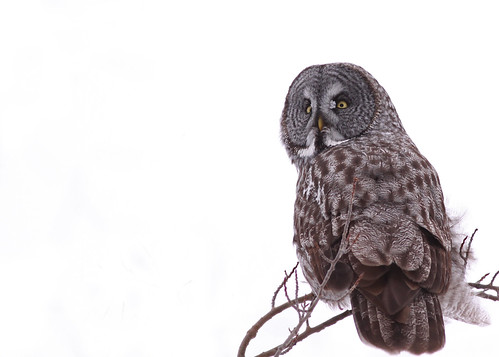 canada bird birds animal animals canon wildlife manitoba owls prawda 50d canonef400mmf56l avianexcellence owlgreatgray birdperfect amazingwildlifephotography