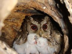 貓頭鷹在樹洞中育雛