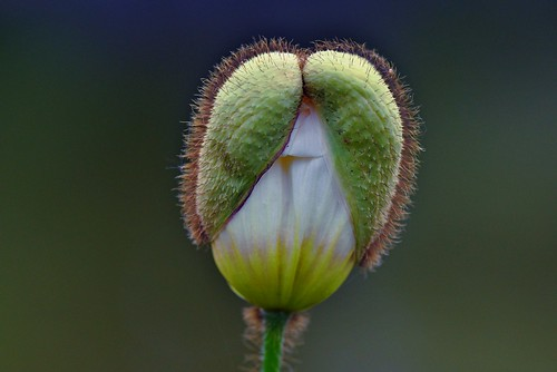 Its time to unfold !! (an unfloding poppy)