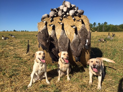 Early goose season