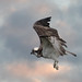 Osprey Fishing After The Storm by londonlass16