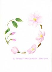 2013_01_07_cherry_blossom_01_s