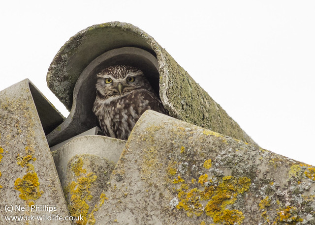 little owl-2