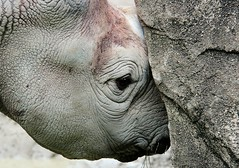 animal, head, rhinoceros, fauna, close-up, wildlife,