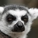Small photo of Lemur ain't impressed