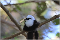 black white laughingthrush