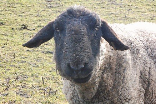 Curious sheep in field by River Till near Etal in Northumberland