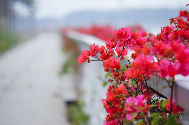 Bougainvillea - Spring of Guangzhou