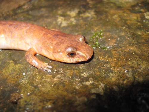 Image of Northern Spring Salamander