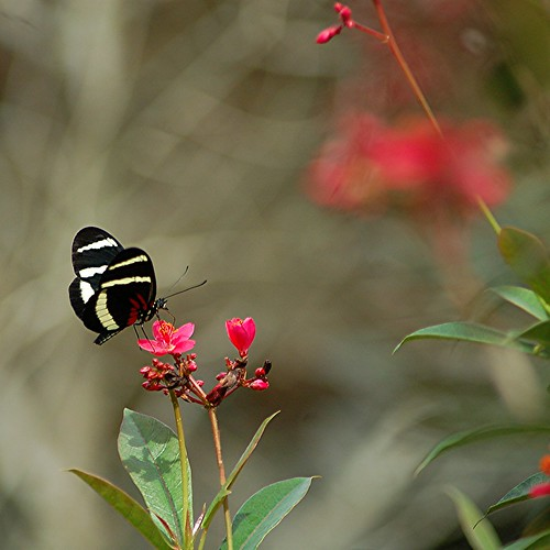 Heliconius hewitsoni lights on red Spicy Jatropha by jungle mama