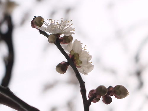 plum-bloom festival 13