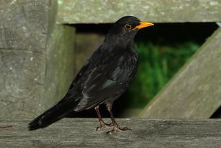 Image of Glänås. good turdusmerula blackbird tåkern koltrast glänås