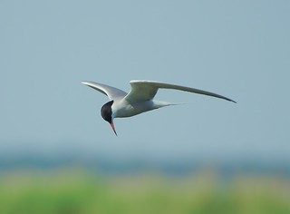 Fisktärna / Common Tern