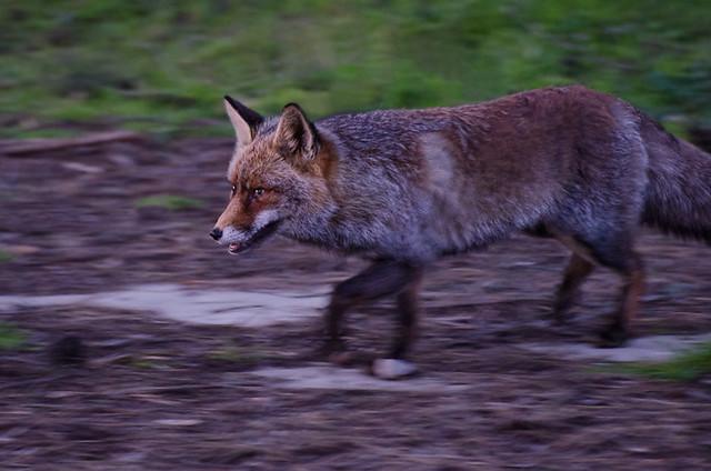 Fox in Monfragüe, Extremadura