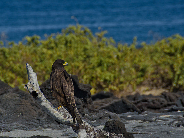 Galapagos Birds: Galapagos Hawk