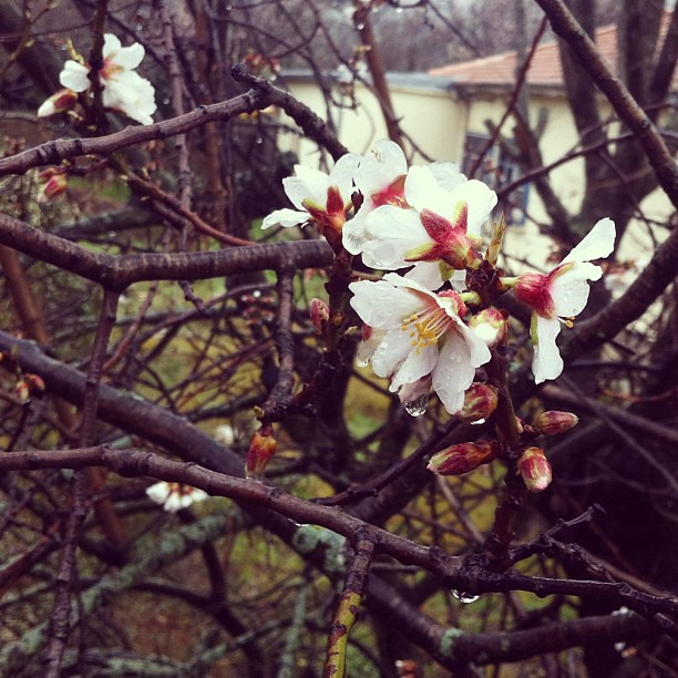 Cherry blossoms. #Languedoc