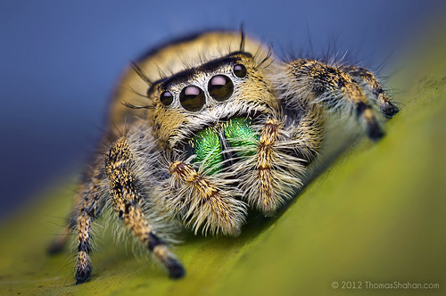 Female Jumping Spider - Phidippus workmani - Florida - Bugshot Workshop