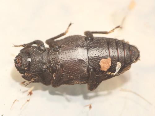 NEED ID 甲虫