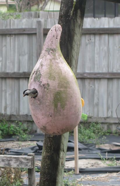Chickadee leaves gourd