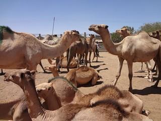 Camelos à venda em Hargeisa