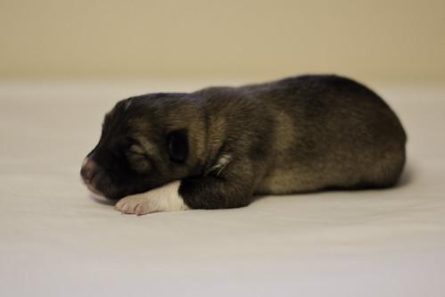 Ike-Kilbe-Pup5-Female-4