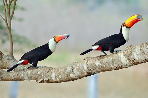 Two Toco Toucans Are Better Than One by masaiwarrior