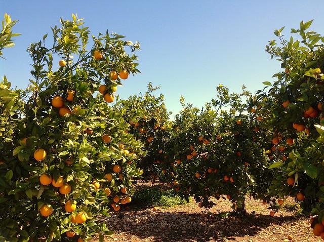 Campo de naranjos pertenecientes al Municipio de Pego