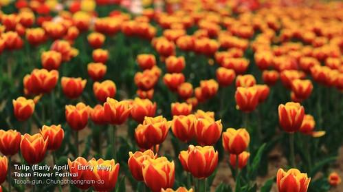 Taean-Flower-Festival-korea.jpg