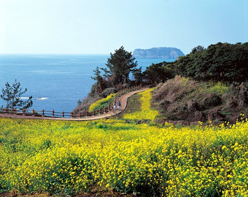 canola-yellow-flowers-jeju.jpg