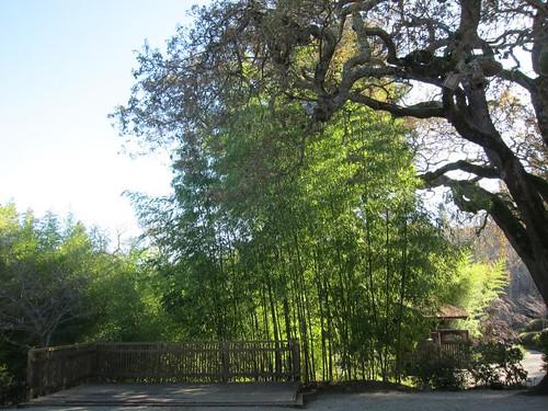 Hakone Japanese Gardens, Saratoga, CA, bamboo IMG_2303
