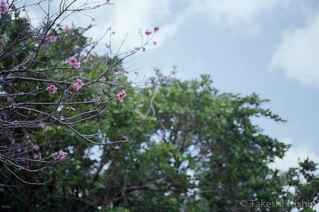 咲き始めたサクラ / Cherry comes into bloom