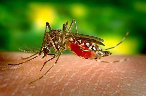 傳播登革熱的埃及斑蚊(Aedes aegypti),正在吸取人血。照片提供:jentavery。